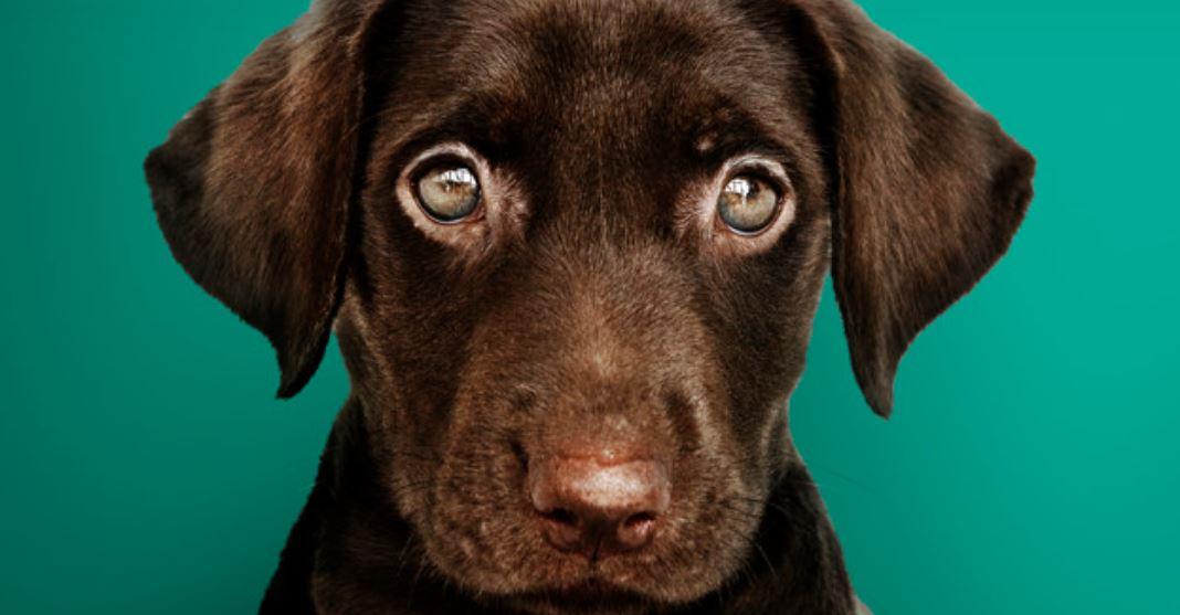 Labrador kaufen